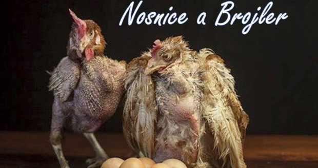 Tohle jsou slepice, jejichž vejce jíte: Lidé je vykupují před smrtí
