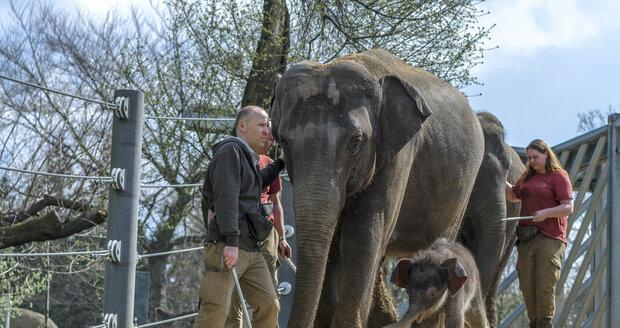 Chodník využívají sloni v Praze celoročně, na archivním snímku slůně Maxmilián.