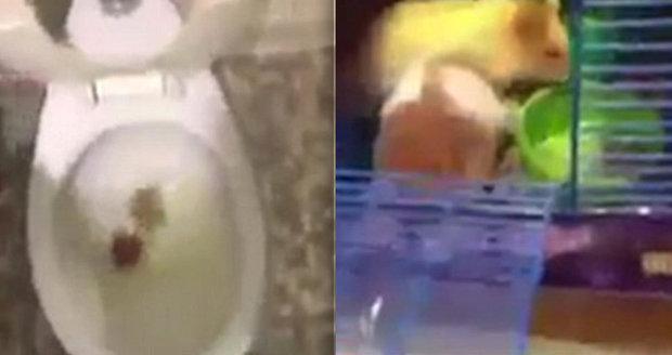 """Hrůzné video: """"S*ru na tvýho křečka,"""" napsal muž pod záběry, na kterých splachuje do záchodu domácího miláčka svojí nevěrné přítelkyně"""