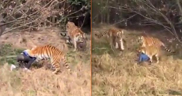 Tygři v zoo roztrhali návštěvníka: Přelezl plot, aby nemusel platit za lístek