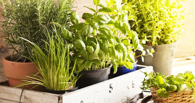 Pro zimní pěstování v bytě se hodí bylinky, které v našich podmínkách přetrvávají zimu venku po několik let.