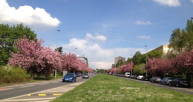 Takto rozkvetlá bývá ulice V Olšinách na jaře. Letos sakury ale už nevykvetou.