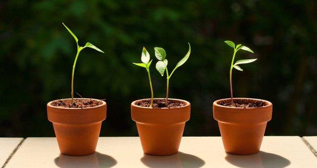 Semínka rajčat, okurek, paprik a dalších druhů teplomilné plodové zeleniny potřebují k vyklíčení pěkně vyhřáté místečko.