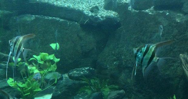 Součástí průchodu mezi jednotlivými částmi skleníku je i pohled do světa exotických ryb.