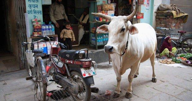 Doživotí za porážku krávy i převoz hovězího: V Indii chystají drsný zákon