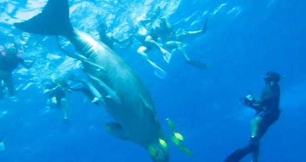 Setkání s dugongem je velký zážitek. Zvíře je větší, než se zdá.