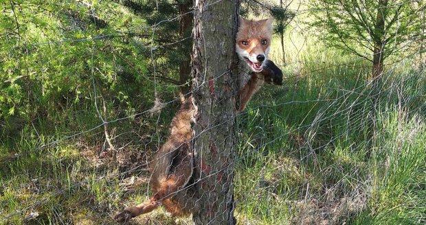 Zaseklou lišku vyprostili z plotu strážníci.