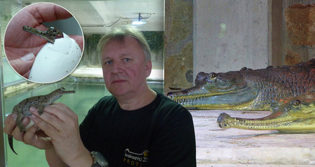 Světový úspěch v Protivíně: V krokodýlí zoo se vyklubali ohrožení gaviálové!