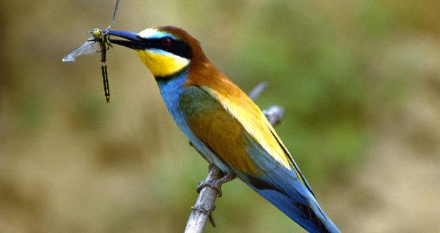 Vlha obecná patří k velmi pestře zbarveným ptákům.