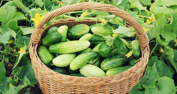 Zapamatujte si, čím rychleji dokážete plody okurek sklidit, tím rychleji se začnou vyvíjet plody nové.