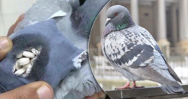 """Zločinci přivázali na holuba drogy a vyslali ho do vězení. Policie """"pašeráka"""" sestřelila"""