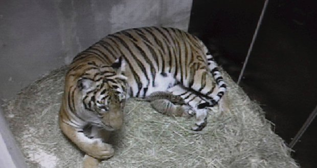 Tohle je první foto samice Banyi, která porodila dvě mláďata tygra malajského.