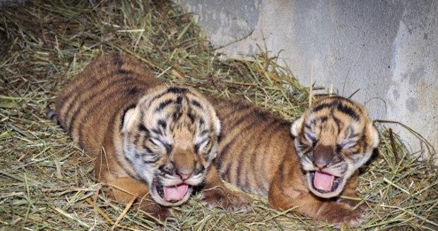 V zoo se narodila samička a sameček kriticky ohroženého tygra malajského.
