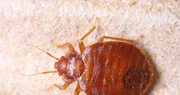 Štěnice jsou podle odbornice vzhledem k výskytu hmyzu v bytech nejhorší.