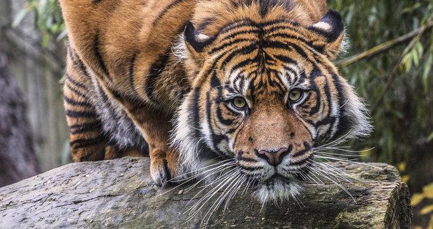 Tygr Dandys (5) se dnes přemísťuje z brněnské do Jihlavské zoo. Místo samice Satu (13) bude mít mladou slečnu Cintu (4,5).