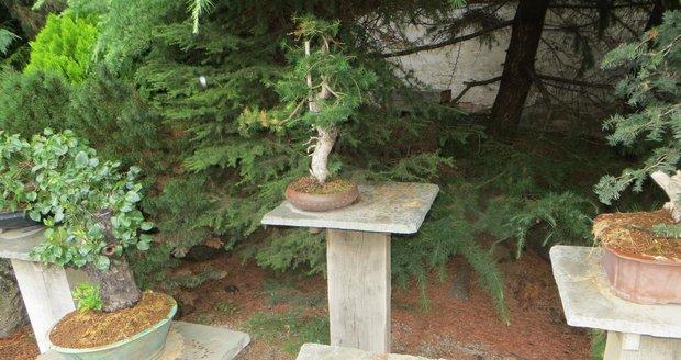 Po čtyřicet let pěstované bonsaji lesní borovice zůstalo prázdné místo.