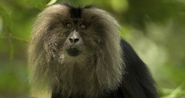 Ostravská zoo chystá nové výběhy. Dočká se i makak lví.