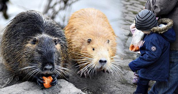 V uhříněveských rybnících se přemnožily nutrie. Důvodem je jejich překrmování i mírná zima. (ilustrační foto)