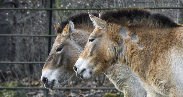 Do pražské zoo přijely dvě klisny koně Převalského.