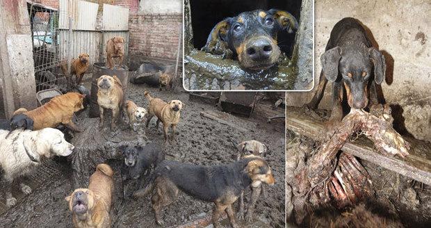 Psí koncentrák u Štětína: V množírně se zvířata navzájem požírala, mnozí se utopili v bahně a hnoji