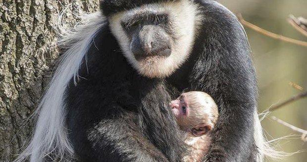 Gueréze pláštíkové se narodilo v pražské zoo miminko.