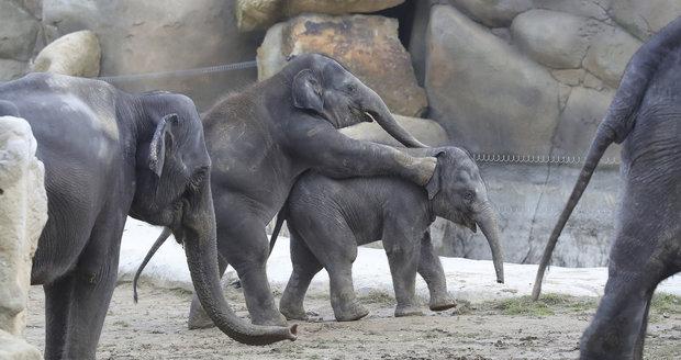Zatímco sloni budou venku, lidé se mohou o víkendu přijít podívat do jejich zázemí v Zoo Praha.