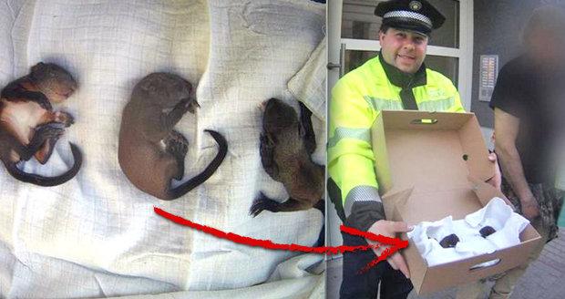 Tří malé veverky sfoukl v Brně vítr z hnízda: Zázrakem přežily, vrátí se do přírody