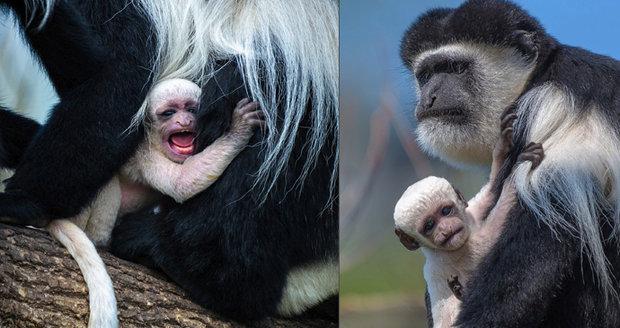 V Zoo se chystají opičí křtiny! Vyberte jméno pro mládě guerézy pláštíkové