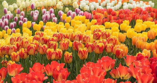 Tulipány v Průhonickém parku