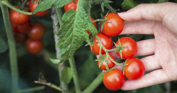 Není nad to, mít čerstvá rajčátka k dispozici kdykoliv na ně dostanete chuť.