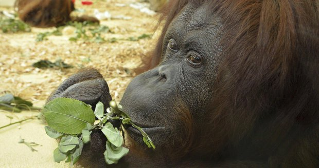 Zemřela rakouská hvězda Facebooku. Orangutanku Tonju museli v zoo utratit