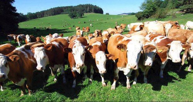 Stádo krav málem ušlapalo v Jílovém ženu. (ilustrační foto)