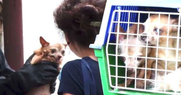 Hrůza na Plzeňsku: Zápach, výkaly a zubožení psi v odhalené množírně