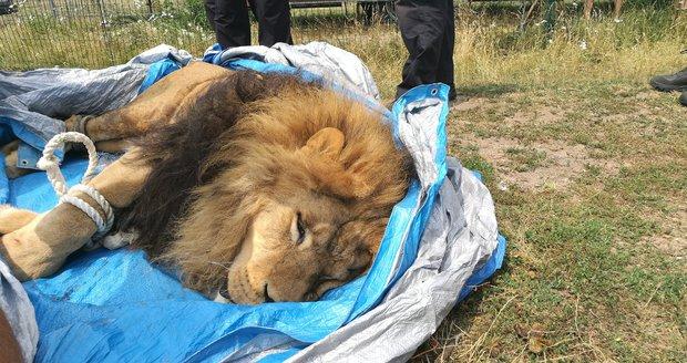 Ze soukromé zoo na Hradecku utekli dva tygři a lev: Někdo jim na svobodu pomohl?