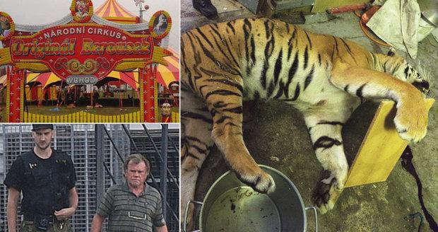 """Naštvaní cirkusáci: """"Tygří jatka s námi nemají nic společného, je to barbarský čin,"""" zlobí se Berouskovi"""