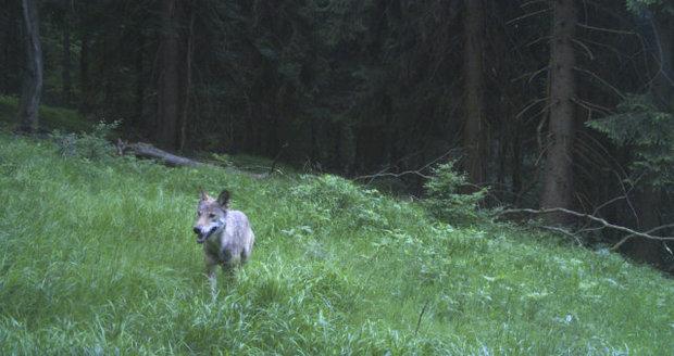 Fotopast v Krkonoších zachytila vlka. Šelmy se po 150 letech vrací do českých lesů