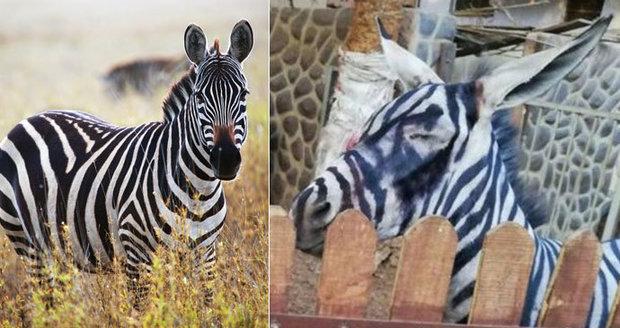 Káhirská zoo vydávala osla za zebru, namalovala na něj pruhy