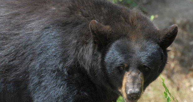 Lovec si myslel, že šípem zabil medvěda. Když se šel ujistit, šelma na něj zaútočila