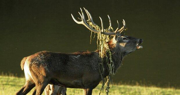 Myslivec uřízl hlavu uhynulého jelena, toužil po trofeji. Ilustrační foto.