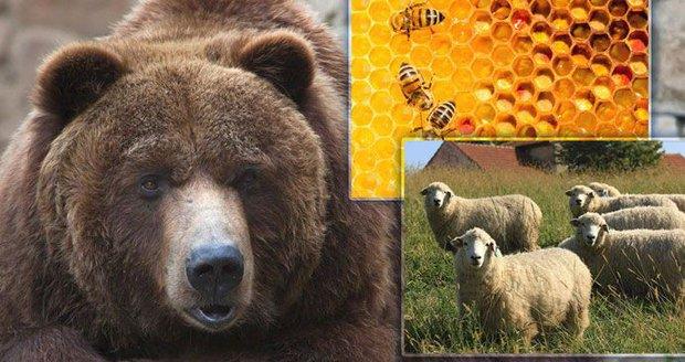 Medvěd na Vsetínsku potrhal ovce a poškodil úly. Připravoval se na zimu