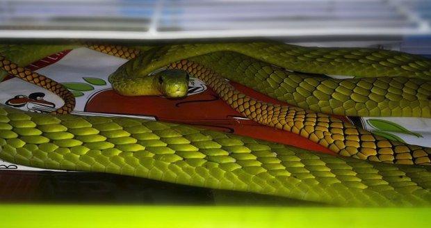 Hon na jedovatou mambu: Nástrahy nezabraly, had stále uniká! Uštknutá žena je ve vážném stavu