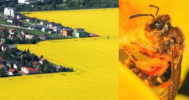 Nový plán má pomoci v záchraně včel. Na poli radí víc řepky a slunečnic