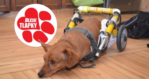Psího vozíčkáře Charlieho zachránili v českém Tibetu. Je náročný na péči, marně hledá nový domov