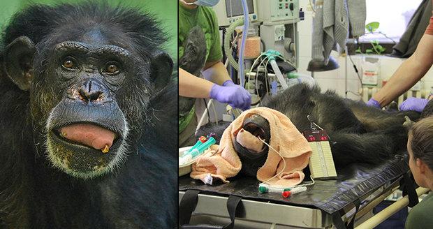 Zuzka přišla o tři zuby! Nejstarší šimpanzici u nás operovali odborníci z Motola