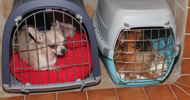 """Kšeftař prodával psy, kteří do týdne uhynuli. Policie ho """"skřípla"""" a teď hledá svědky"""