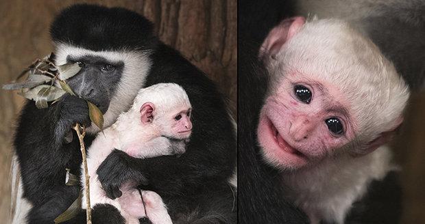 """Předčasný """"Ježíšek"""" v Zoo Praha: Na svět přišlo mládě guerézy pláštíkové"""