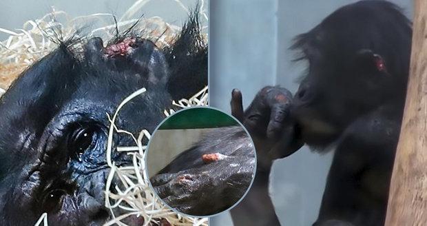 """Opičí šikana! Šimpanzí """"nováček"""" Bili dostal v nové ZOO pořádnou nakládačku: Ztratil hrdost i kus ucha"""
