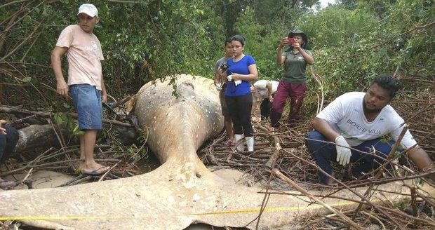 """Mládě velryby našli uprostřed amazonské džungle. """"Nechápeme to,"""" tápou vědci"""