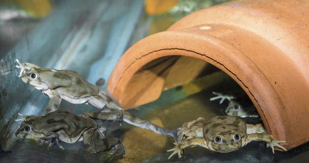 V Zoo Praha se lidem představí pozoruhodný druh žab, vodnice posvátná.