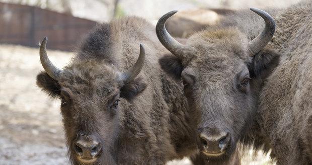 Zubří samice Prťka (vlevo) opustí Prahu.